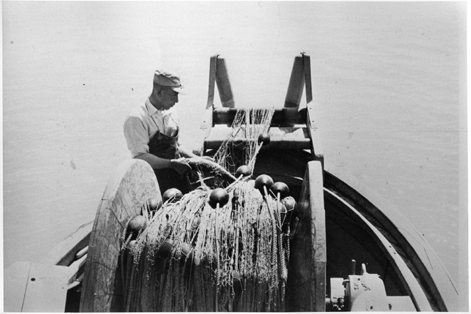 Rintaro Hayashi Removing a Fish from nets; Steveston, BC Canadian Centennial Project fonds, Nikkei National Museum Collection (2010.23.2.4.545)